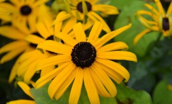 Ką auginti gėlynuose, kad šie išliktų puošnūs vasaros pabaigoje ir rudenį?