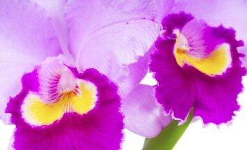Orchidėjų kenkėjai: kaip atpažinti ir įveikti
