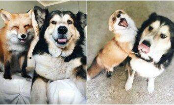 Lapė ir šuo