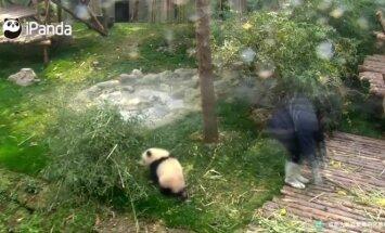 """""""Slaptas pandų gyvenimas"""" (XII): prižiūrėtojai nevisada turi laiko žaidimams"""