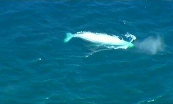 Prie Australijos kranto pastebėtas kuprotasis banginis albinosas