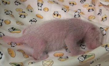 Pagausėjo Japonijos zoologijos sodo pandų šeima