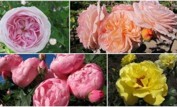 Vilniaus universiteto Botanikos sodo rožės