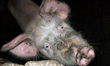 Gyventojai raginami skersti laikomas kiaules