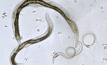 Kirmėlės parazitai
