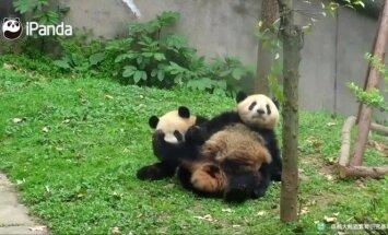 """""""Slaptas pandų gyvenimas"""" (XXXVII): vaikų darželis"""