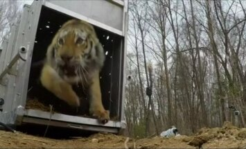 Tolimuosiuose Rytuose į laisvę paleista amūrinio tigro patelė