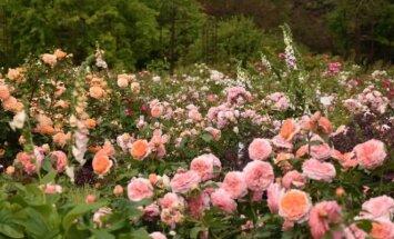 Kauno botanikos sodo rožynas