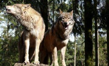 Ieškoma būdų, kaip apsiginti nuo vilkų / Gunnar Ries nuotr. (CC-SA)