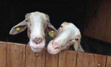 Avių augintojai susirūpino augintinių gerove
