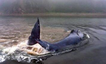 Sprukdamas nuo orkų upės žiotyse įstrigo grenlandinis banginis