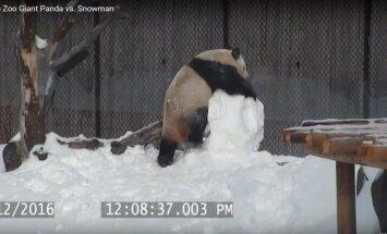 Panda prieš sniego senį