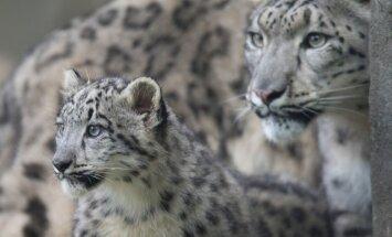 Snieginiai leopardai