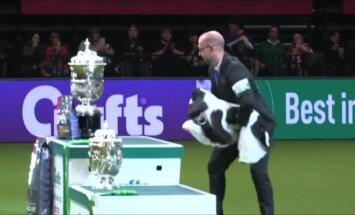 """Britų šunų parodos """"Crufts"""" teisėjus pakerėjo amerikiečių kokerspanielis"""