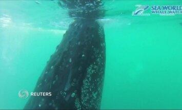 Kuprotieji banginiai pozavo prieš kameras