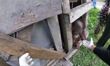 Išlaisvintas porą metų dėžėje laikytas orangutangas