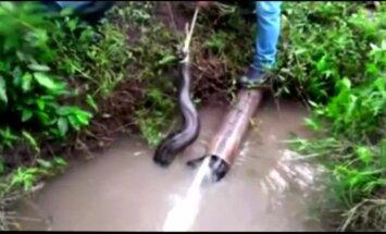 Peru išgelbėta beveik 5 metrų ilgio anakonda