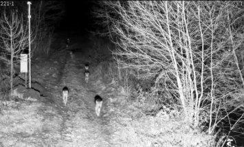 Vilkų gauja