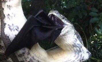 Pitonas doroja šikšnosparnį