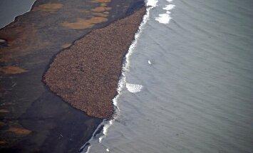 Jūrų vėpliai Aliaskoje