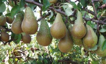 Tinkamiausios Lietuvoje auginti kriaušių veislės