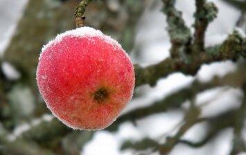 Kaip paruošti vaismedžius žiemai?