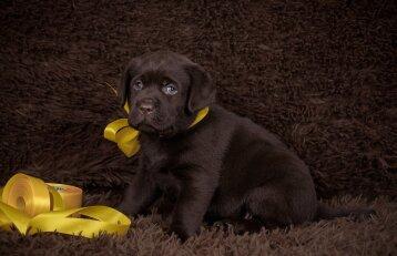 Šunų šeimininkų dėmesiui: kada augintinį būtina pažymėti geltonu kaspinu?