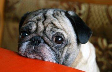 Gailus žvilgsnis – dar ne viskas: ką turi žinoti šuns šeimininkas