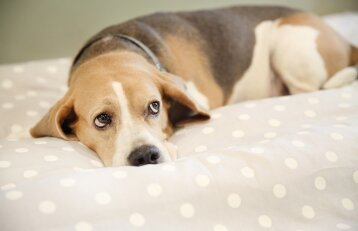 Pavydą jaučia ir šunys: koks elgesys tai išduoda
