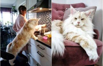 Milžiniškas katinas pavergė internautus: pažiūrėkite, koks gražuolis