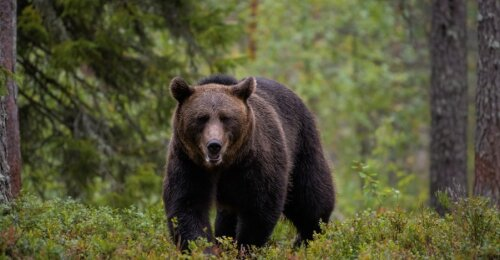 Vidurio Lietuvoje klajoja meška: medžiotojai dalijasi įrodymais