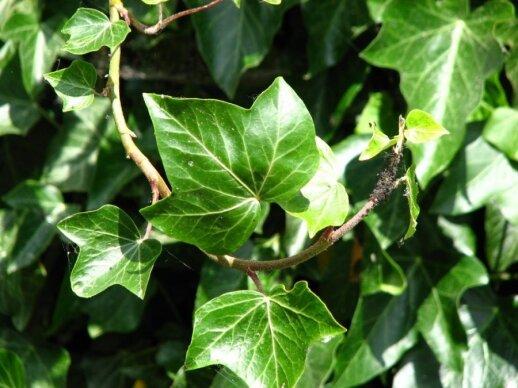 Septyni kambariniai augalai, keliantys pavojų vaikams ir augintiniams