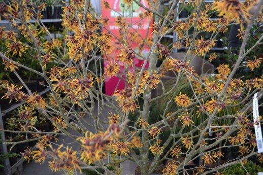 Tarpinis hamamelis 'Orange Peel' - labai įdomus krūmas, kone vienintelis žydintis rudenį arba žiemą.