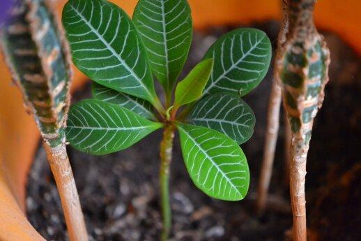 Baltagyslė karpažolė iššaudo sėklas į aplinką tiesiogine žodžio prasme, todėl sudygusių daigelių galima rasti ne tik jos, bet šalia esančiuose vazonuose.