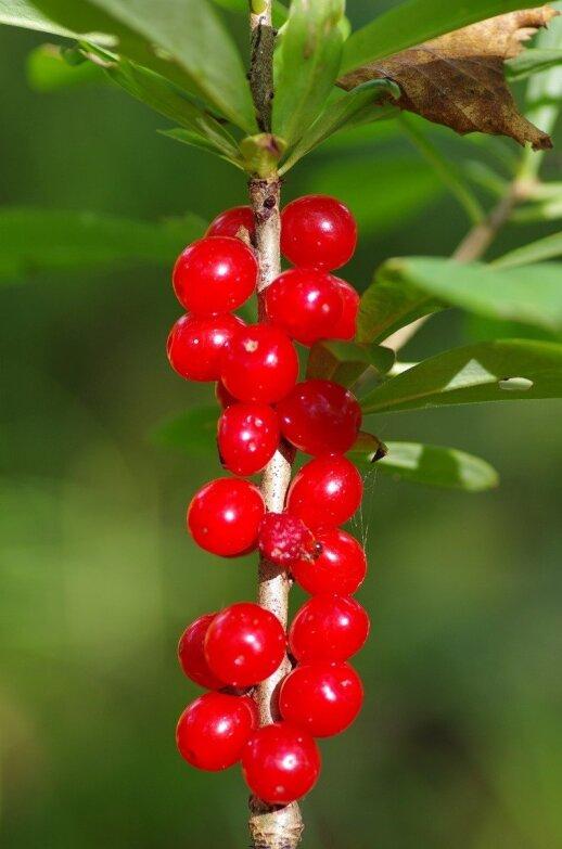 Žalčialunkio vaisiai