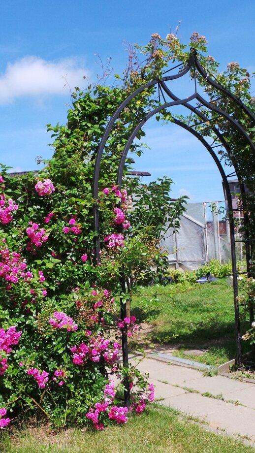 'Dorothy Perkins' - laipiojanti rožė