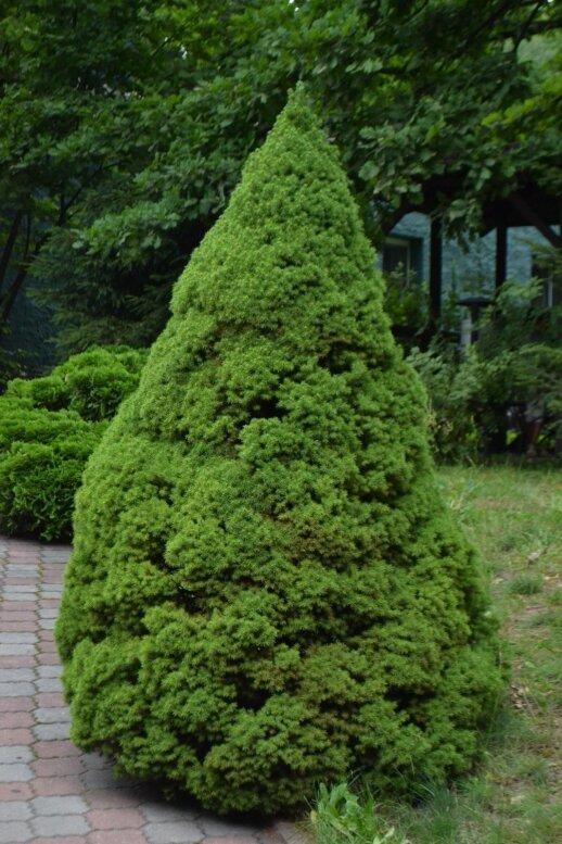 Baltoji eglė 'Conica' želdynuose karaliauja jau virš 100 metų, bet neatsibosta dėl žalių ir tankių spygliukų, kompaktiškos formos bei lėto augimo.