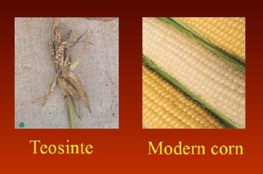 Žmonija genetiškai modifikuoja augalus jau tūkstančius metų. Kairėje: augalas, iš kurio mūsų protėviai išvedė kukurūzą; dešinėje: nemodifikuotas kukurūzas / Prof. P. J. Davieso paskaitos medžiaga