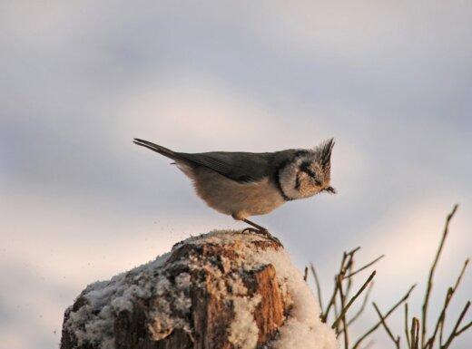 Nuotaikingos išvaizdos paukštelis - kuoduotoji zylė