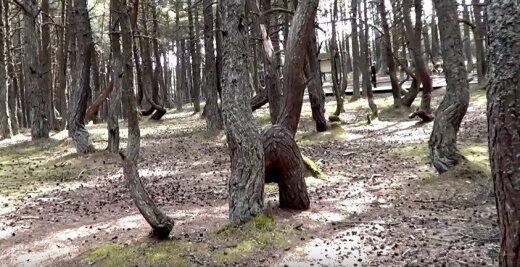 """""""Šokantis"""" miškas"""