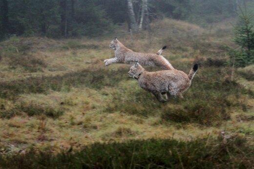 Medžiotojai jau galvoja apie už ES pinigus veisiamų lūšių medžioklę