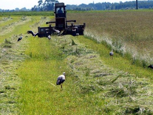 Gandrus galima pavadinti žemės ūkio paukščiais