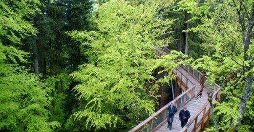 Anykščiai ties taką medžių viršūnėse