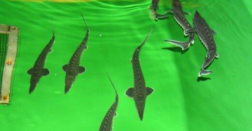 Žuvininkystės tarnyba augina aštriašnipius eršketus