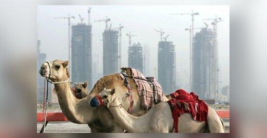 Jungtiniai Arabų Emyratai ketina eksportuoti kupranugarių pieną į ES