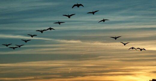 Parskrendantys paukščiai