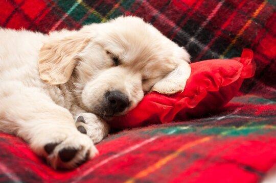 Šuniukas miega