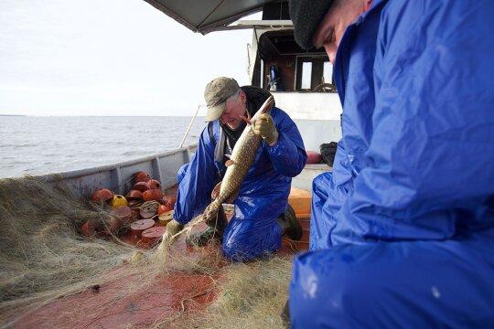 Lietuvoje pagaunamos žuvys, kurių į burną geriau nedėti: gali baigtis rimtais sveikatos sutrikimais ir net mirtimi