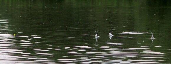 Peletės nukrenta ant vandens