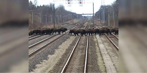 Stumbrai ant geležinkelio bėgių